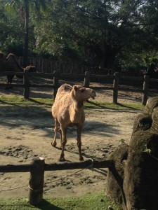 Taipei Zoo - Sassy camel